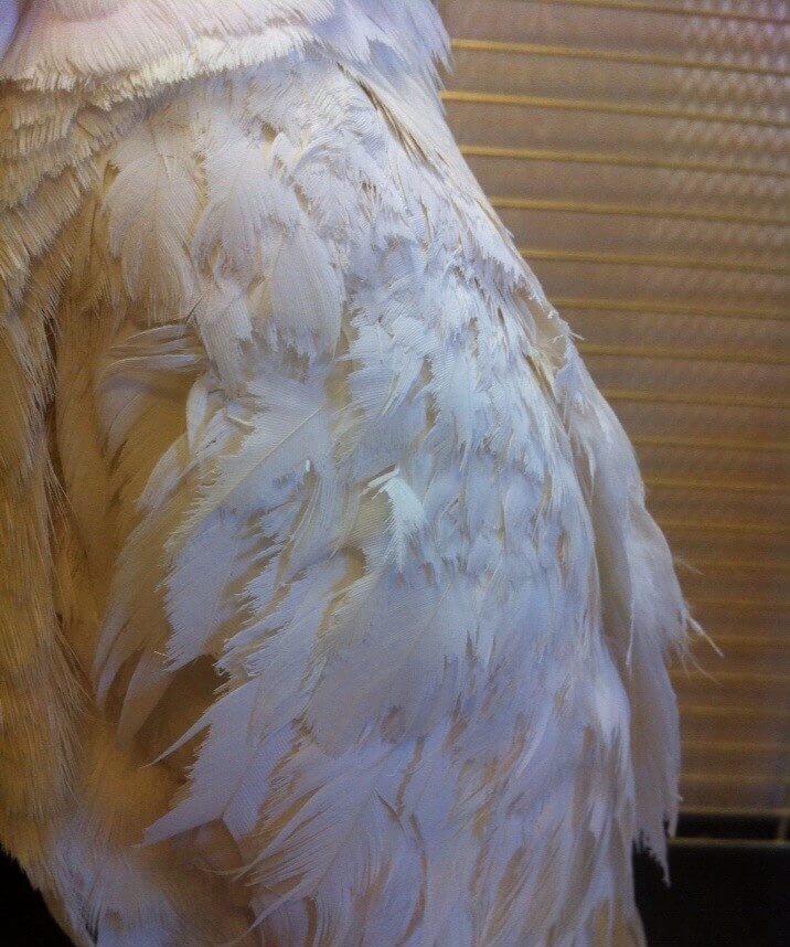 какаду ощипывает другого попугая
