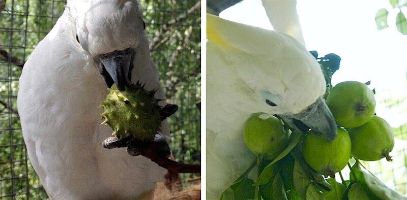 каштаны и зеленые яблоки в рационе попугаев какаду
