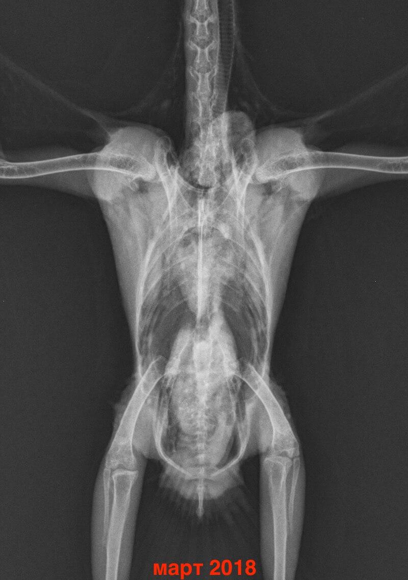 Лечение аспергиллеза у попугаев какаду