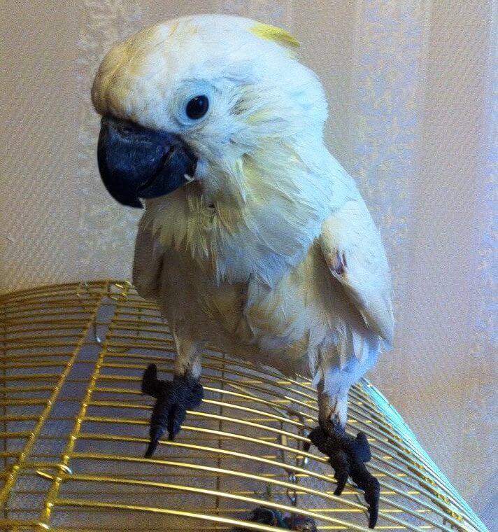 лечение попугая какаду выкормыша от аспергиллеза и самоощипывания