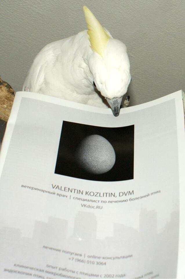 лечение попугаев какаду, ветеринарный врач, вызов на дом. Москва
