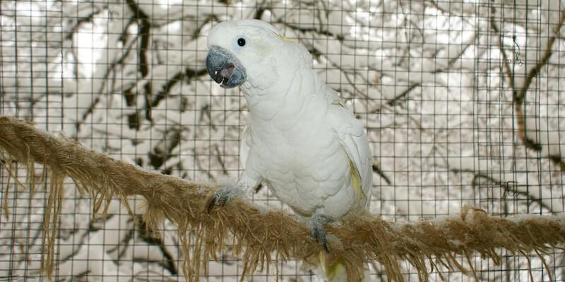 Лечение попугая какаду Несси от аспергиллеза