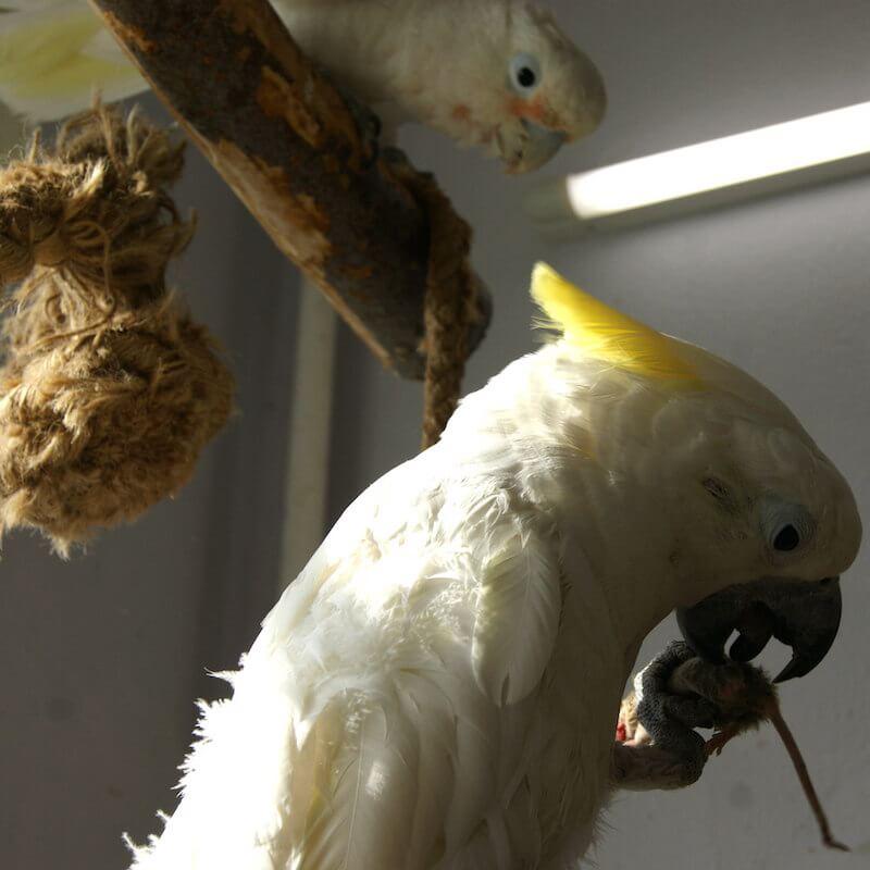 мыши в рационах попугаев какаду