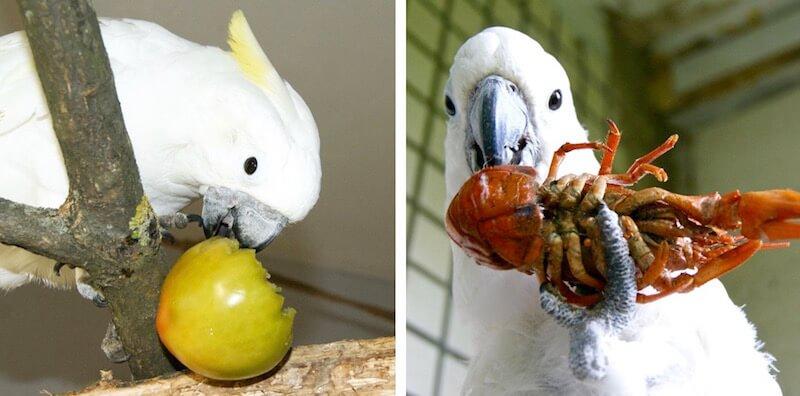 неспелый помидор и варенные раки в рационах попугая какаду