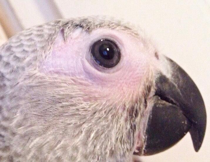 покраснение кожи вокруг глаза птенца выкормыша попугая жако