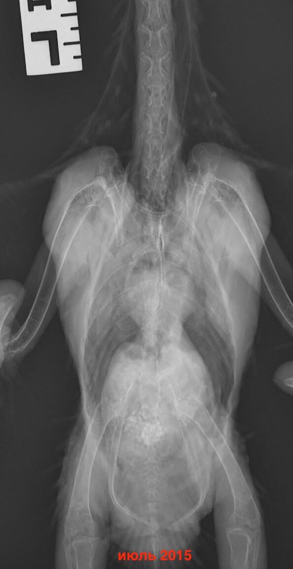 рентгендиагностика лечения попугая какаду от аспергиллеза
