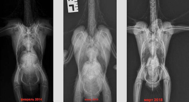Рентген, лечение попугая какаду от аспергиллеза и самоощипывания