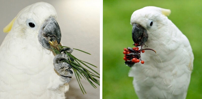 cocновая хвоя и бузина в кормах для попугаев какаду