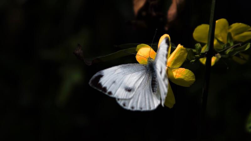 корм для насекомоядных птиц, бабочка