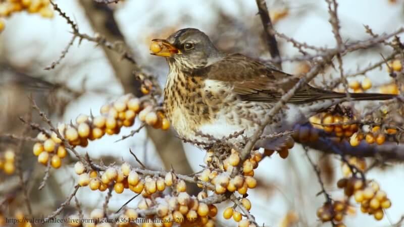 кормление насекомоядных птиц, дрозд питается облепихой