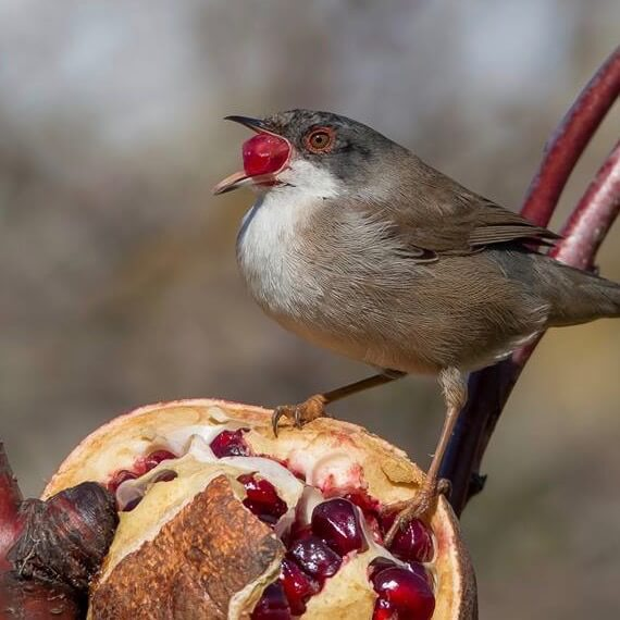 кормление насекомоядных птиц ягодами, черноголовая славка ест гранат