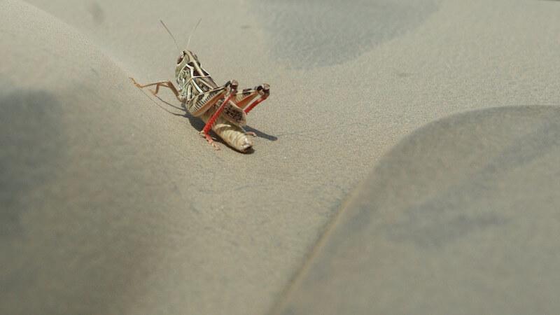 кузнечики для насекомоядных птиц