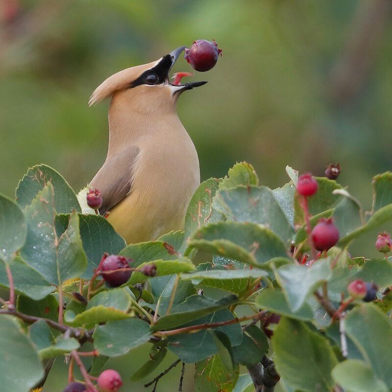 ягоды в рационе певчих птиц, свиристель ест иргу