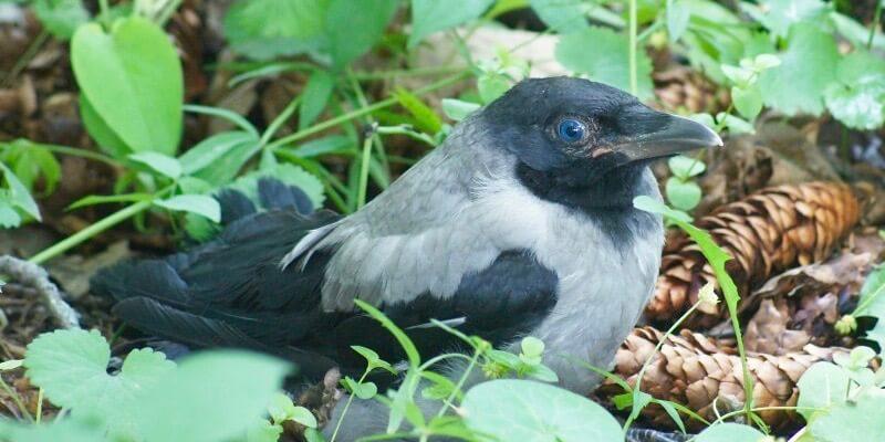 как выкормить птенца вороны, сороки, галки, грача, ворона и других врановых птиц