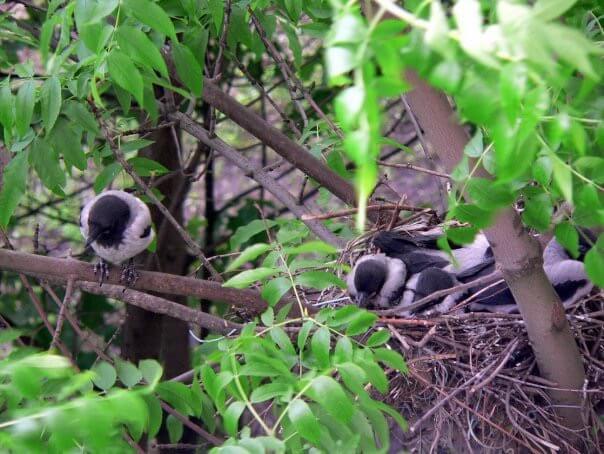 птенцы серой вороны рядом с гнездом