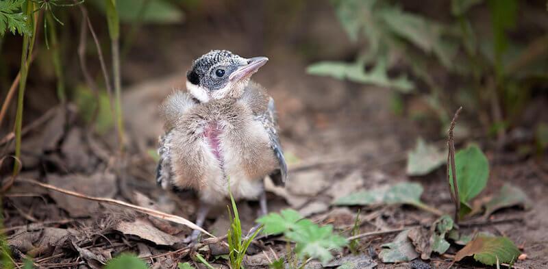 птенец сойки выпал из гнезда что делать, чем кормить дома, как корммть и содержать