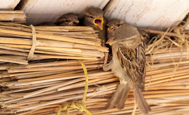 воробьи кормят птенцов в гнезде