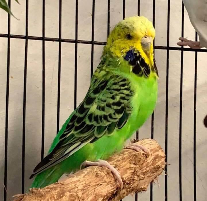 симптомы наличия глистов у волнистого попугая