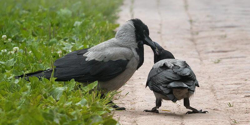 взрослая ворона кормит птенца слетка