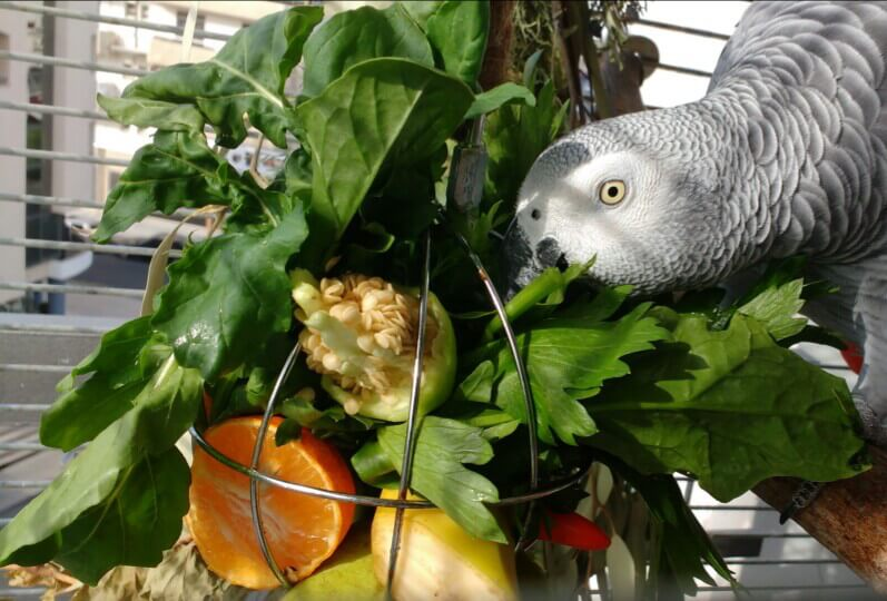 как приучить попугая жако к новой еде, овощам и фруктам