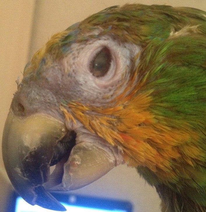 больной глаз попугая амазона панофтальмит