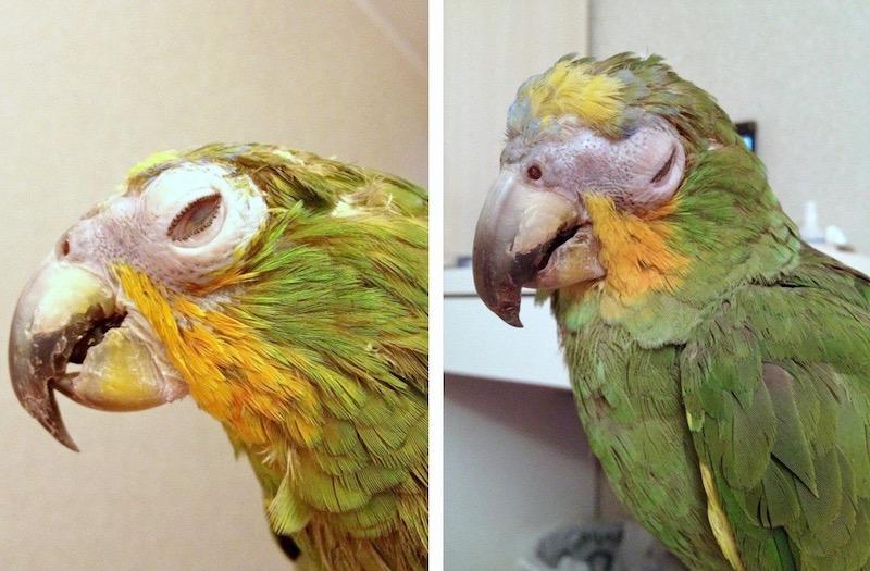 отек век попугая амазона, лечение