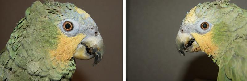 помутнение хрусталика глаза попугая амазона, катаракта