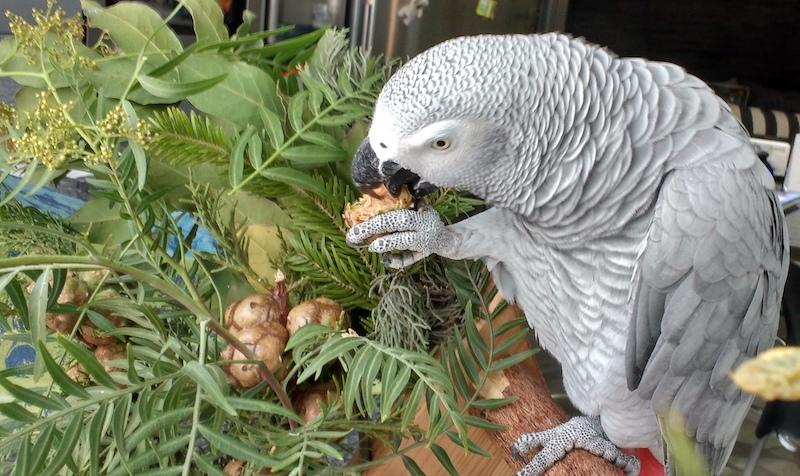 попугай жако кормится кипарисовыми шишками