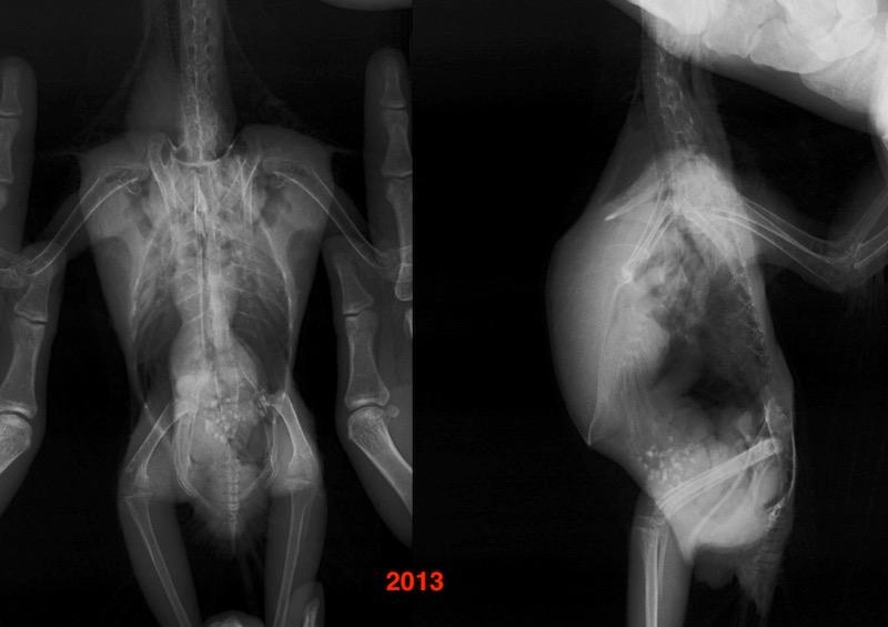 рентген попугая амазона, аспергиллез, гранулема.