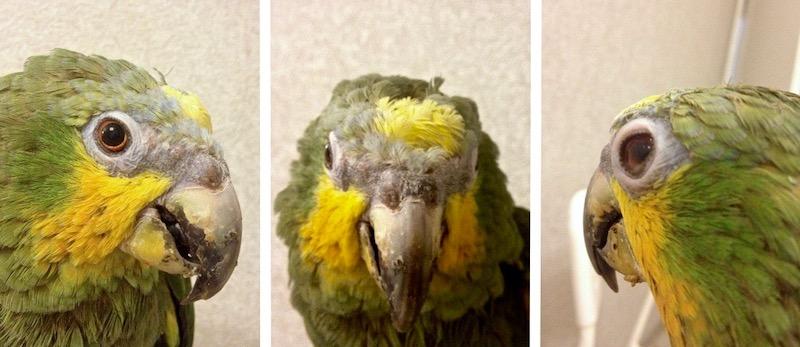 воспаленая кожа век, забитые ноздри попугая амазона