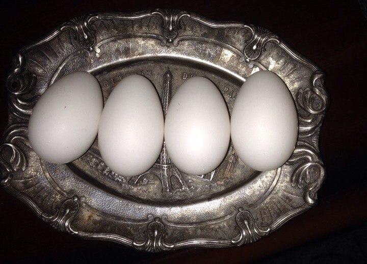 яйцекладка попугая какаду