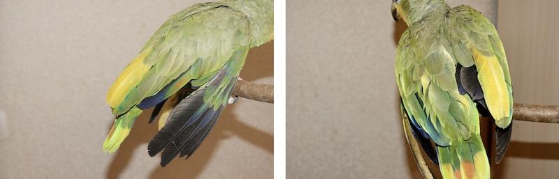 желтые маховые перья попугая амазона