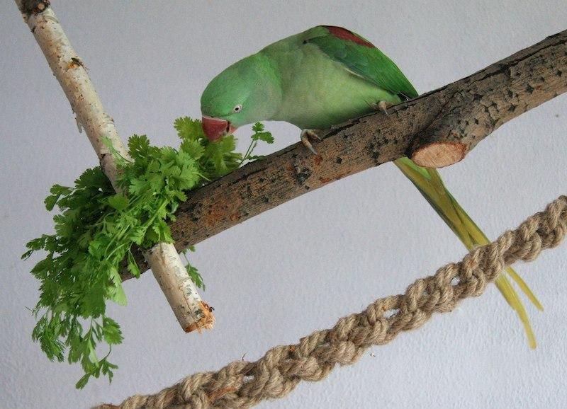ожереловый попугай ест кинзу