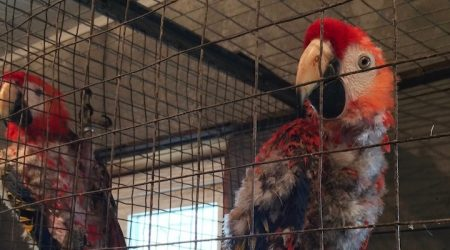 цирковирус попугаев ара, анализы, кровь, перо, помет, мазки из клоаки, зоба