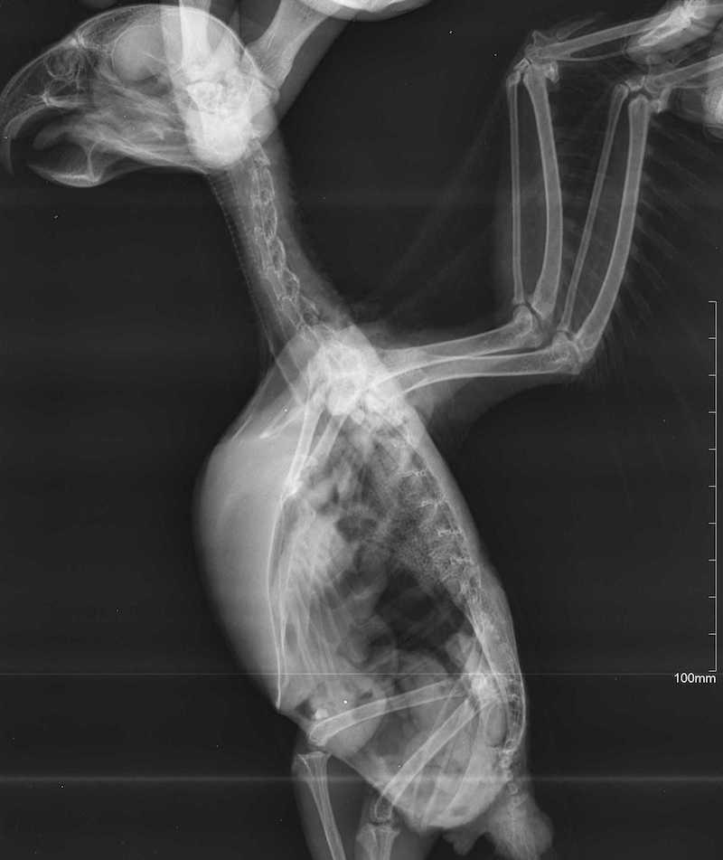 рентген попугая жако, пневмония, рахит.