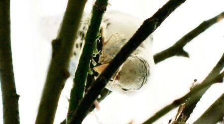 какие ветки деревьев и кустарников нужны волнистым попугайчикам