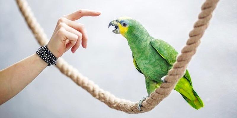 лечение попугая венесуэльского амазона от аспергиллеза.