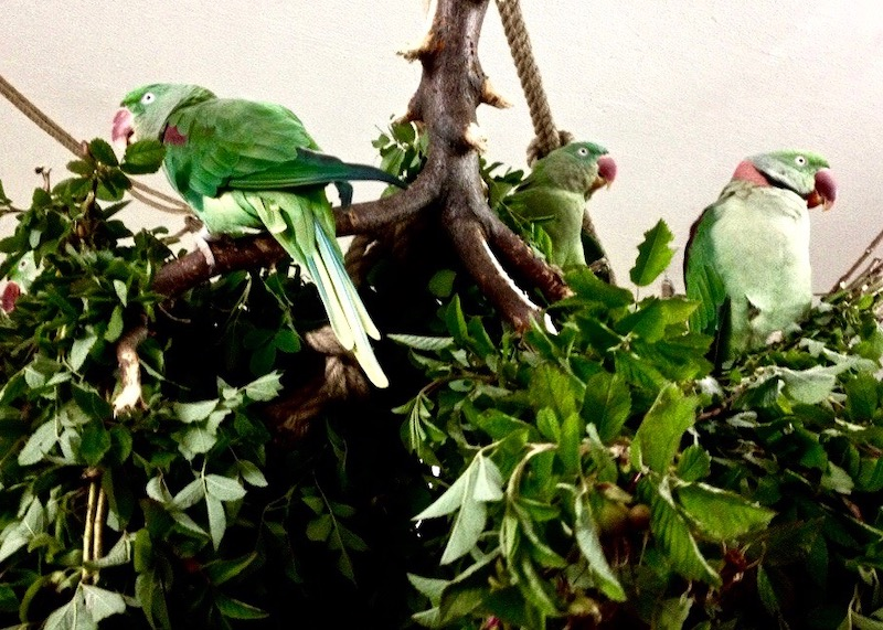 ветки стенд для александрийских попугаев
