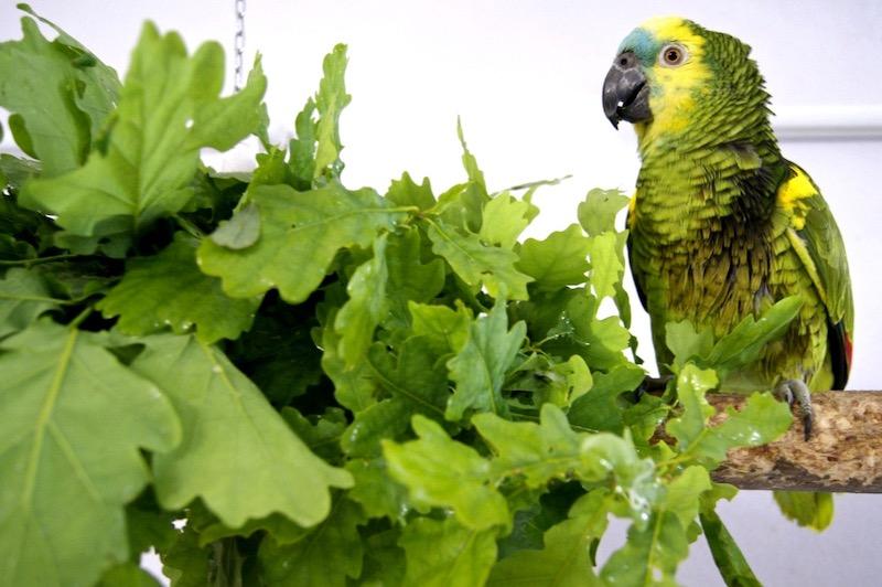 ветки и листва дуба для синелобых амазонов