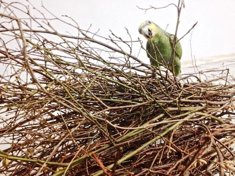 веточный корм попугаям венесуэльским амазонам