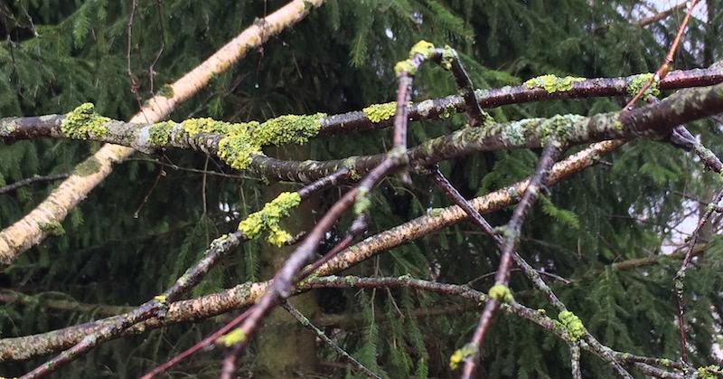 лишайник и мох на ветках для попугаев, можно ли давать