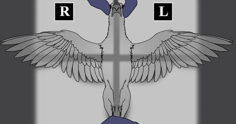 как держать птицу на рентгене на спине